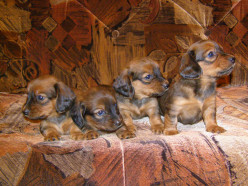 How to select the right type of dog for you:the common errors to avoid when choosing a new puppy