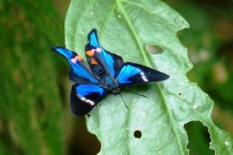 Another blue coloured butterfly