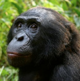 Chimpanzees fight for the alpha male position
