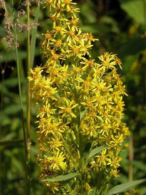 Goldenrod Solidago virgaurea bloom