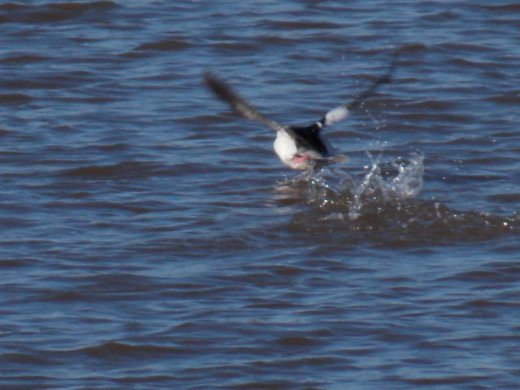 Bufflehead Taking Off From the Water