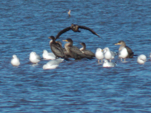 Ring-billed Gulls and Double-Crested Cormorants