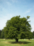 UK Trees-The Hardy Hornbeam --description, history and uses of the tree in the UK.