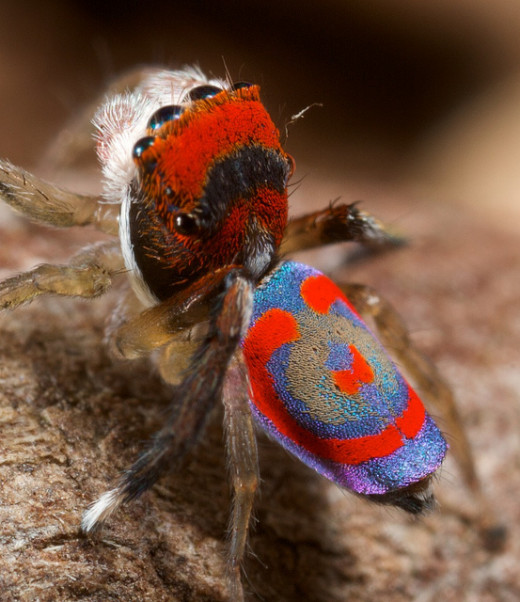 Australian Peacock Spider- Designed by Nature, Not Photoshop