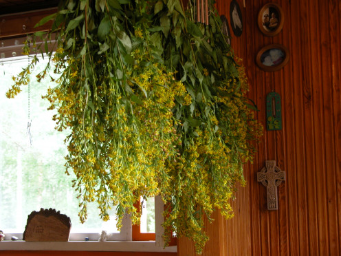 Bunches of Goldenrod hanging up to dry