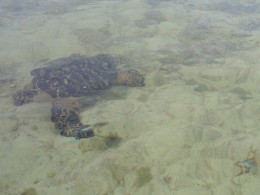 Taking care not to disturb turtles and other inhabitants of the mangroves