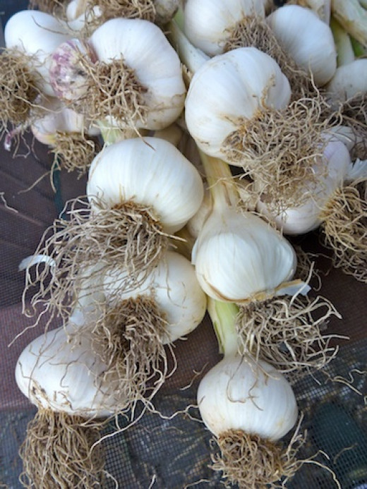 Garlic, scallions, leeks and shallots can all be grown organically from seed.