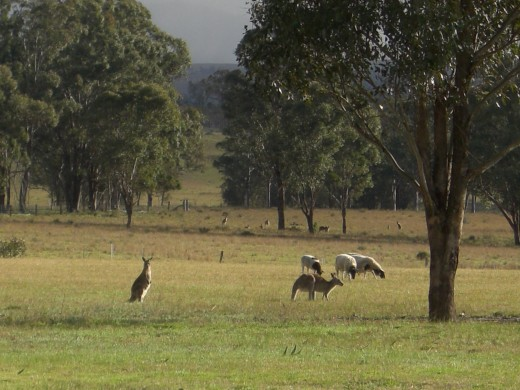 Eastern Grey Kangaroo's sharing the paddock with our Dorper sheep