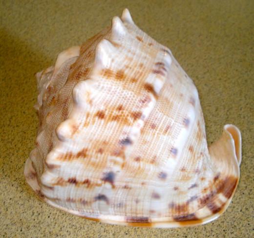 Helmet Seashell
