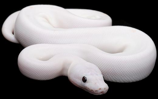 Black Eyed Leucistic Python