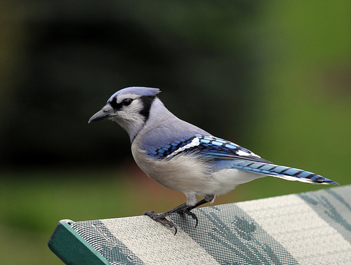 Swallow Woodpecker And Blue Jay Spirit Guide Meanings Exemplore
