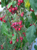 Benefits and Uses of Crabapple
