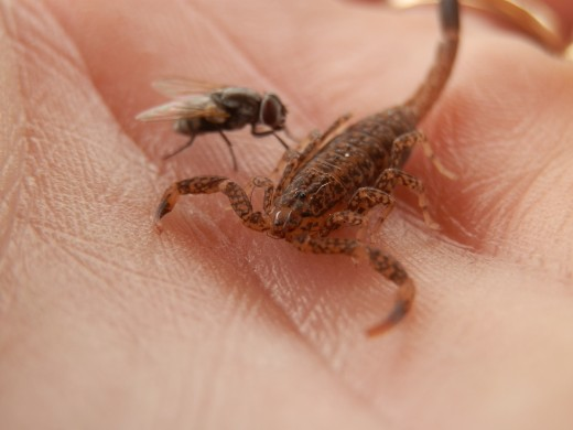 Perfect timing.  A fly landing on the scorpion in my hand!