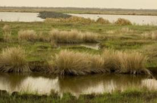 A Salt Marsh in Gulf Shores, Alabama. Sometimes fish get caught up in salt marshes.