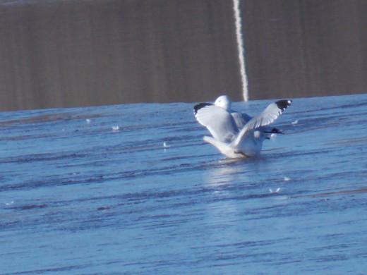 Ring-billed gull sliding on ice