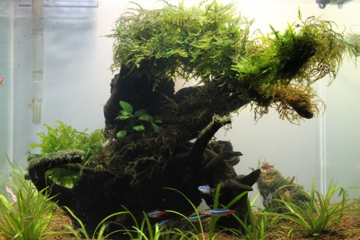 The Nano Nature Aquarium after a month. Note the X'Mas moss on top.