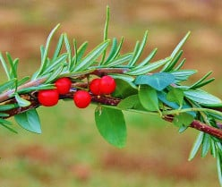 Vinca minor vines, nandina berries and rosemary stems are affixed to the heart wreath with hot glue and floral wire.