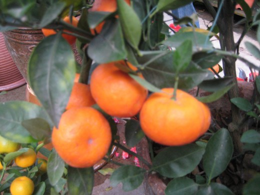 Mandarin Oranges during Chinese New Year