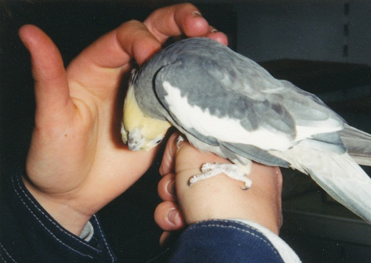 Cockatiel enjoying a neck tickle