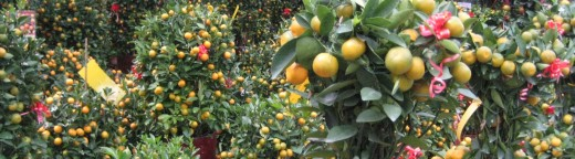Mandarin Oranges and Four Seasons Lime Potted Plants at a Flower Nursery in Singapore