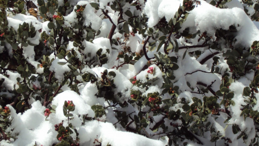 Snow on the branches of a manzanita tree.