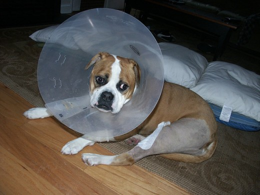 Surgical repair of a luxating patella is not possible for some dogs.