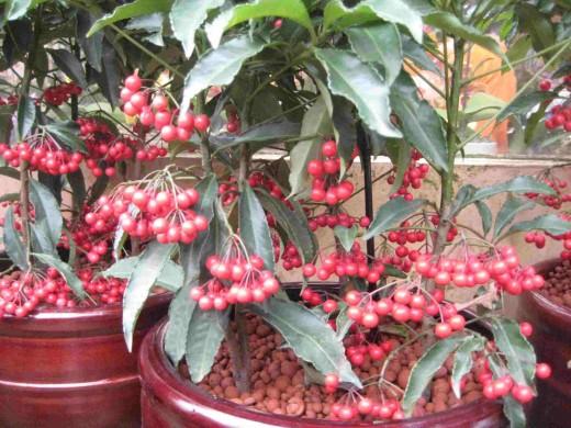 Ardisia Crenata Berries