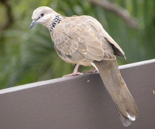 A turtledove