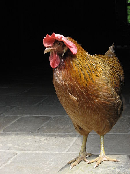 This is actually an English hen.