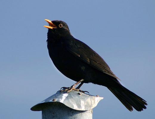 A colly bird is a blackbird