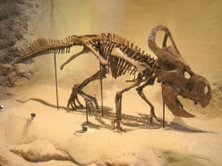 Learning About the Protoceratops Dinosaur