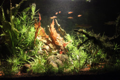 Barclaya longifolia- A Rare Aquarium Plant From The Lotus Family