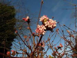 Viburnum x bodnantense 'Dawn'