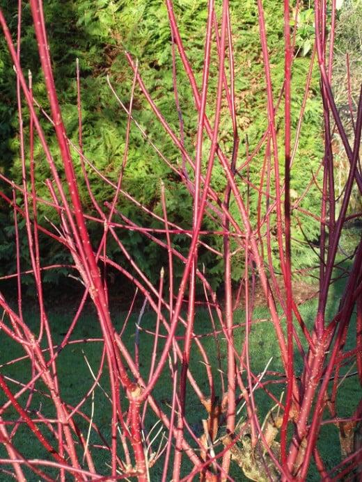 red barked dogwood