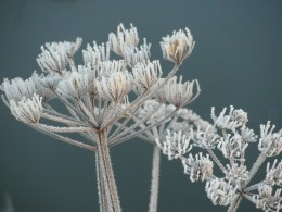 Frosted umbellifer seed heads