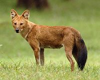 Red Dhole