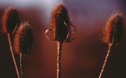 Teasel seed heads