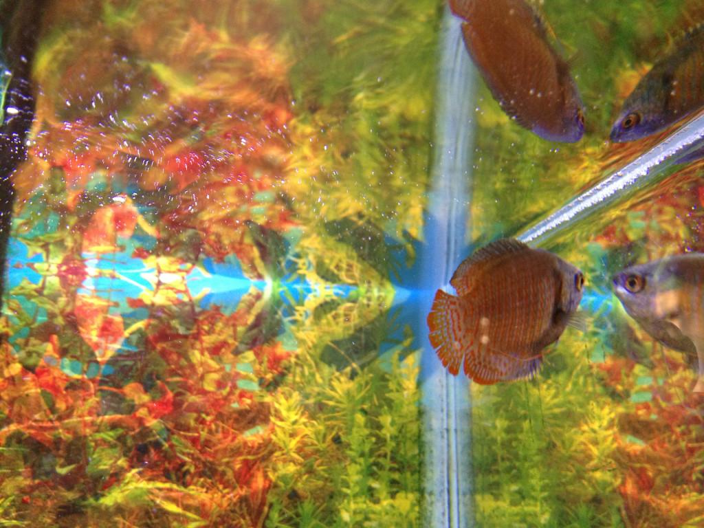 Easy aquarium fish dwarf gourami tank for Easy pet fish