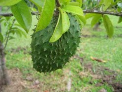 SOURSOP - A CURE FOR CANCER?