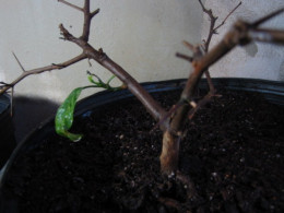 My key lime plant before treatment (that last leaf did fall).
