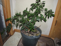 My key lime plant today after doing what I describe in this article.