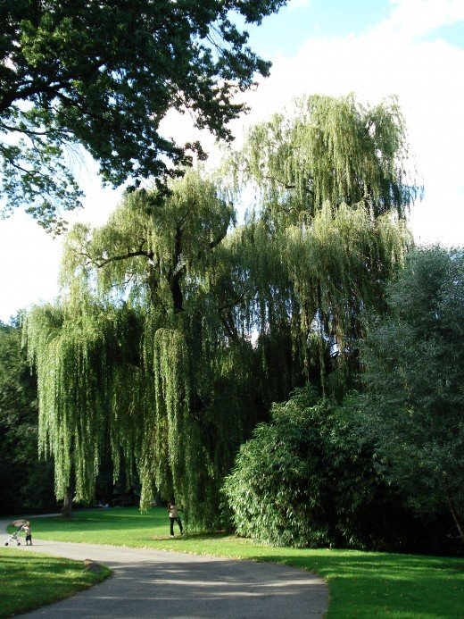 Mysteries And Marvels Of The Weeping Willow Tree Hubpages