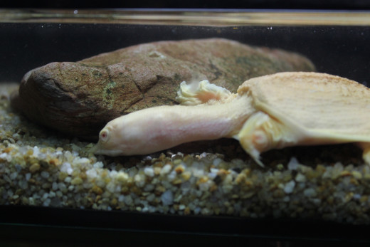 Asian Albino Soft Shelled Turtle in one of the biotope aquariums.