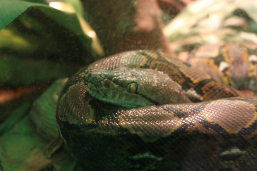 A Water Python,found in Australia and New Guinea.