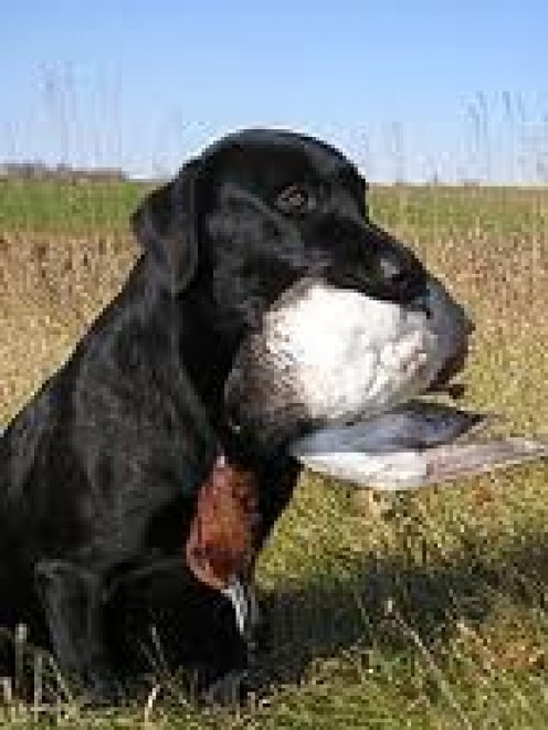 Black Lab softly holding a duck he has retrieved.