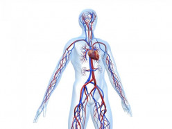 Basic Anatomy and Function of the Cardiovascular System