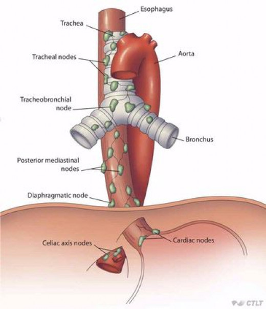 Esophagus And Trachea ...