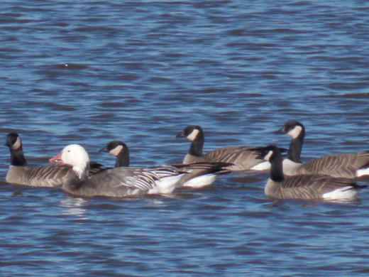 Snow Goose(left) with Canada Geese