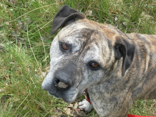 A high proportion of dogs in rescue kennels are staffy crosses.
