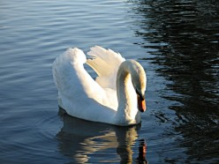 The Mute Swans of the World